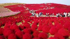 Chiêm ngưỡng màn chuyển màu kỳ diệu của cây Kokia ở Nhật Bản