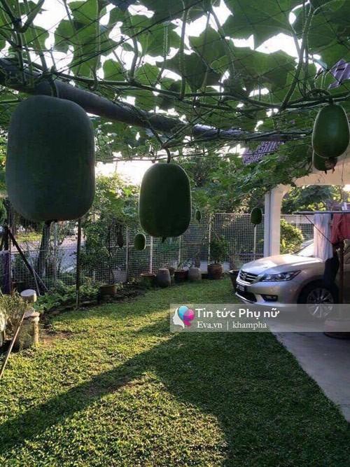 trồng rau sạch, trồng rau thùng xốp, bí quyết trồng bí đao