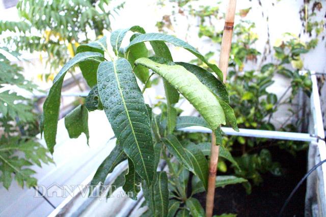 vườn rau sạch, trăm triệu, sân thượng, TP.HCM, ban công, vườn rau, trồng rau,
