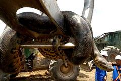 Bắt được rắn khổng lồ dài nhất thế giới