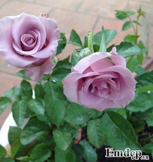 vườn hồng châu Âu, cách chăm sóc hoa hồng, trồng hoa sân vườn
