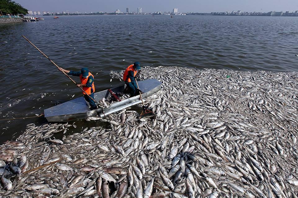cá chết, cá chết ở hồ tây