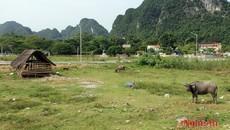 Dự án TECCO Con Cuông thành bãi thả trâu bò