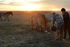 Xem Putin chăm sóc ngựa hoang quý hiếm