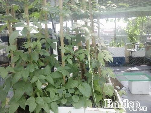 Sân thượng 60m2 thành chuồng chim và vườn rau trái lúc lỉu
