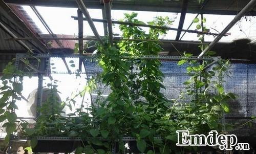 vườn cây sân thượng, trồng rau ban công, trồng rau thùng xốp, sân thượng thành nơi trồng rau nuôi gà