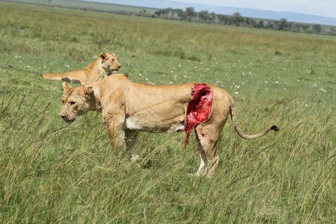 sư tử, trâu đực, Khu bảo tồn thiên nhiên Masai Mara, Kenya