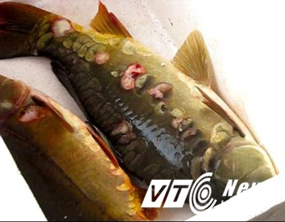 Bí ẩn Hồ Tây: Ốc không nắp, cá chép không vẩy