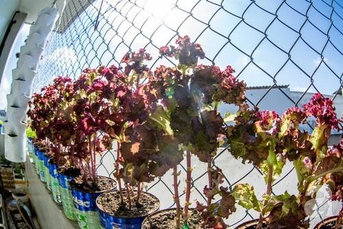 trồng rau trên sân thượng, trồng rau ban công, vườn rau sạch, trồng rau cho con ăn dặm