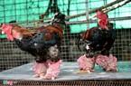 Cặp gà Đông Tảo giá 100 triệu