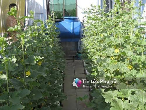 trồng rau sạch, vườn rau sạch, vườn rau trên sân thượng, trồng rau thùng xốp