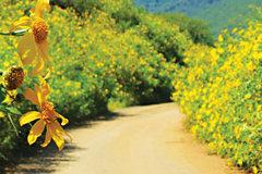 Chiêm ngưỡng cung đường hoa dã quỳ đẹp nao lòng ở Đà Lạt