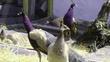 Chim công lông tím: 120 triệu/cặp ở Hải Dương