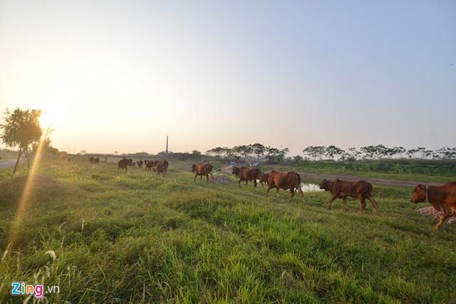 khu sinh thái nghỉ dưỡng, biệt thự, chăn bò, cắt cỏ