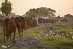 Khu sinh thái nghỉ dưỡng thành nơi chăn bò