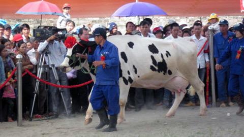 hoa hậu bò sữa, hoa hậu bò sữa mộc châu, bò sữa mộc châu, lò luyện hoa hậu bò, bò đi thi hoa hậu