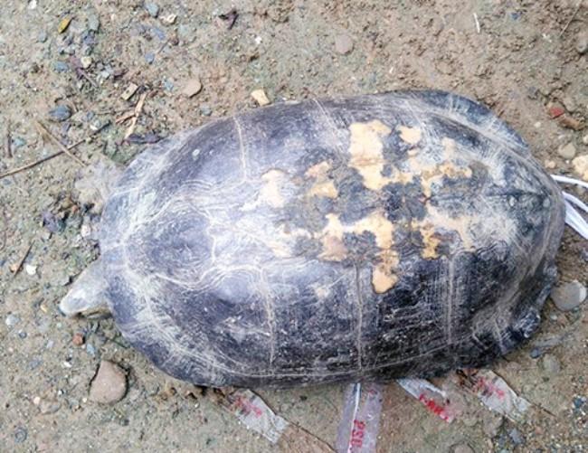 giá 100 triệu, con rùa, phóng sinh, rùa quý, bắt được, rùa vàng, nông dân, trăm triệu,