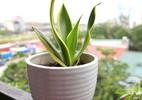 Bà mẹ 8x xinh đẹp chia sẻ cách trồng cây cảnh thanh lọc không khí vừa đơn giản vừa xinh