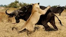 Tê giác thị uy trước sư tử, trâu rừng thoát chết