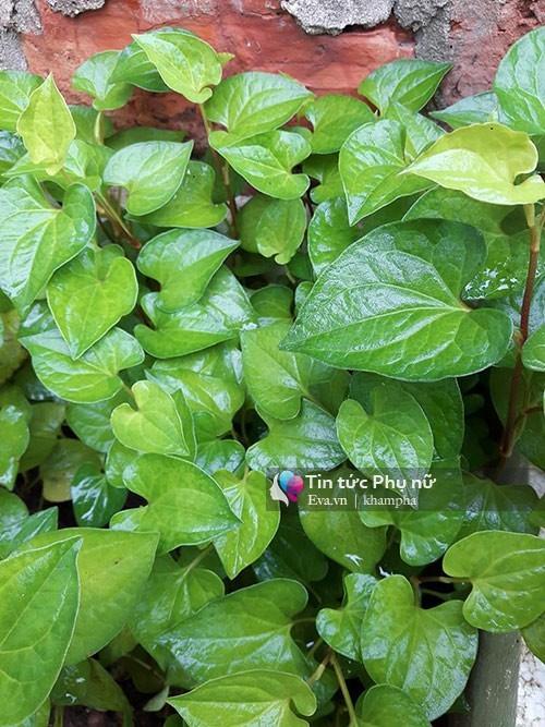 trồng rau sạch, vườn rau ban công, trồng rau nuôi gà trên sân thượng