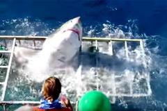 Khoảnh khắc kinh hoàng cá mập khổng lồ lọt vào lồng thợ lặn