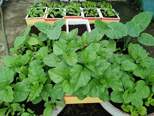 8X Sài thành trồng rau lên mơn mởn từ xơ dừa tại nhà