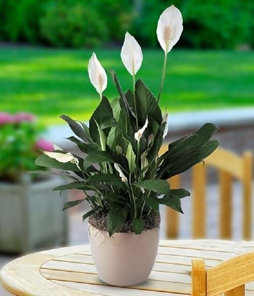 cây cảnh giúp thanh lọc không khí, cây để bàn mini, cây hoa môn, cây lưỡi hổ