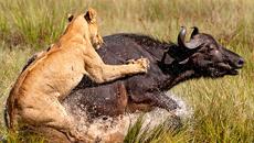 Mải săn trâu rừng, sư tử suýt mất mạng trước hàm cá sấu