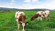 Việt Nam sắp có trang trại bò sữa Organic chuẩn châu Âu