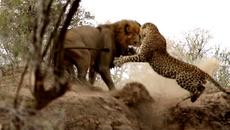 Báo hoa tung mình vả sư tử đực lúc cận kề cái chết