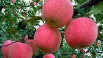 Bí mật rợn người phía sau trái táo Trung Quốc căng mọng