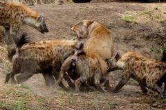 Sư tử sa cơ bị linh cẩu bủa vây cắn xé tàn tạ