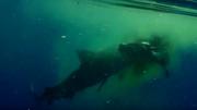 Xem cá mập hổ xé xác bò giữa đại dương