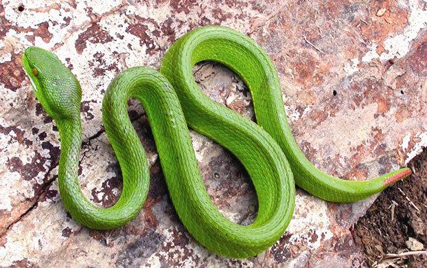 Bệnh viện Bạch Mai, rắn lục đuôi đỏ, rắn độc cắn, xử trí rắn độc cắn