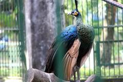 Thông tin mới vụ sư thầy xin nhận lại chim khổng tước