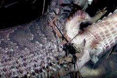Trăn khổng lồ nổ tung bụng vì nuốt chửng cá sấu