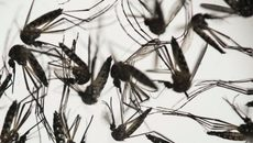 Chấn động: Virus Zika có thể làm teo tinh hoàn