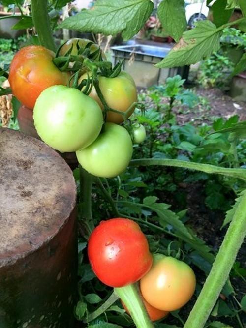 Thích mê vườn rau tuyệt đẹp của người Việt ở nước ngoài