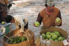 Việt Nam có thừa nhưng xoài nhập lậu vẫn tăng mạnh