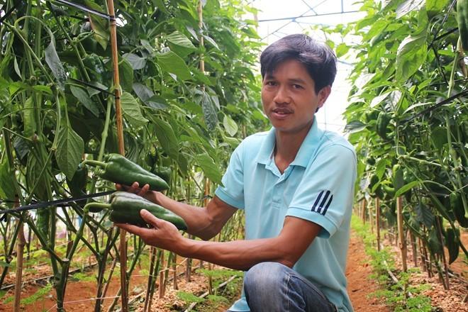 Ớt khổng lồ nửa kg một trái trồng không kịp bán