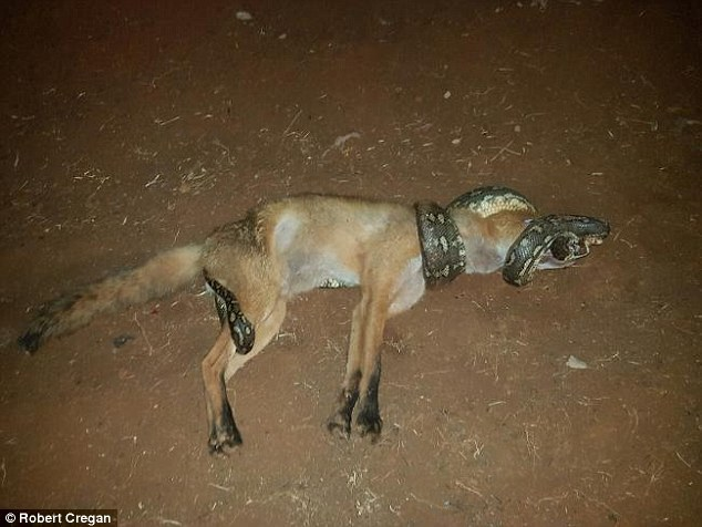Săn rắn 'khủng', cáo bị trăn siết cổ đến chết