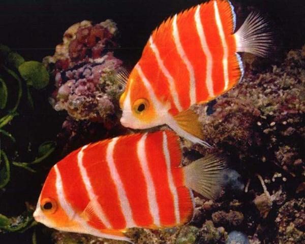 Top 4 loại siêu cá cảnh đắt nhất thế giới