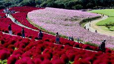 """Ngắm """"tiên cảnh"""" rực sắc trong nắng thu Nhật Bản"""