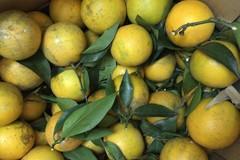 Khắp nơi cam Tàu, bao nhiêu đặc sản cam Việt nơi đâu