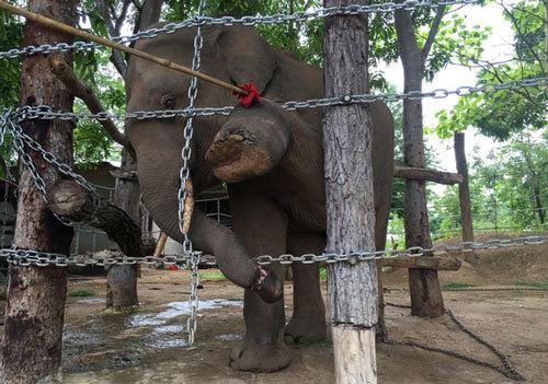 Đắk Lắk: Đàn voi bảo tồn được bảo vệ bằng rào điện