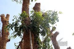 Hàng cây đẹp như mơ trên phố Kim Mã hồi sinh ở 'nhà' mới
