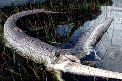 Hình ảnh trăn khổng lồ nổ tung bụng vì nuốt cá sấu