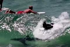Lướt sóng trên lưng cá mập, du khách cuống cuồng tháo chạy