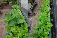 Vườn rau ngập sắc xanh trên nóc nhà cổ của chàng kỹ sư cơ khí