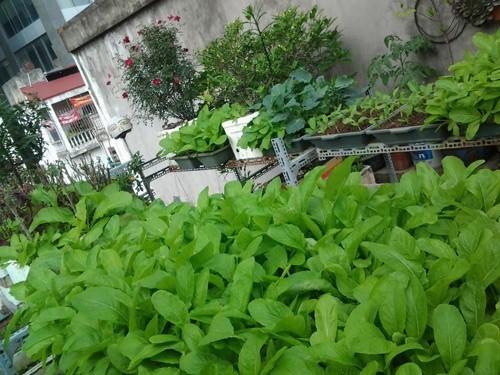trồng rau sạch, vườn rau trên sân thượng, trồng rau trên sân thượng